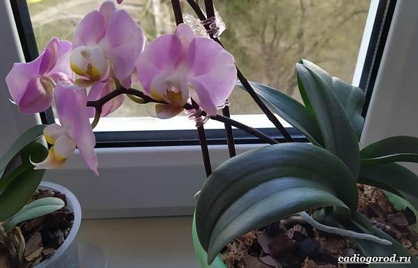 Фаленопсис-цветок-Описание-особенности-виды-и-уход-за-фаленопсисом-4