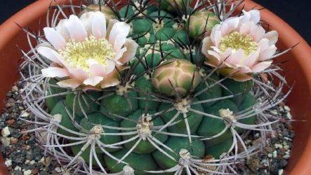 Гимнокалициум цветок. Описание, особенности, виды и уход за гимнокалициумом