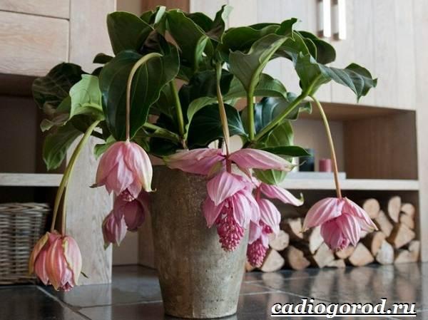 Мединилла-цветок-Описание-особенности-виды-и-уход-за-Мединиллой-1