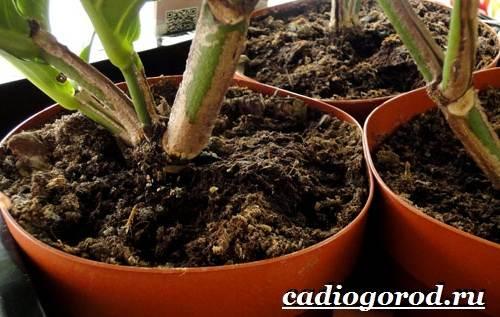 Мединилла-цветок-Описание-особенности-виды-и-уход-за-Мединиллой-12