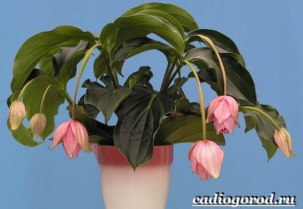 Мединилла-цветок-Описание-особенности-виды-и-уход-за-Мединиллой-14