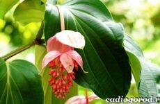 Мединилла цветок. Описание, особенности, виды и уход за Мединиллой