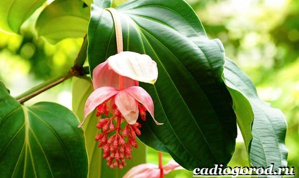 Мединилла-цветок-Описание-особенности-виды-и-уход-за-Мединиллой-15