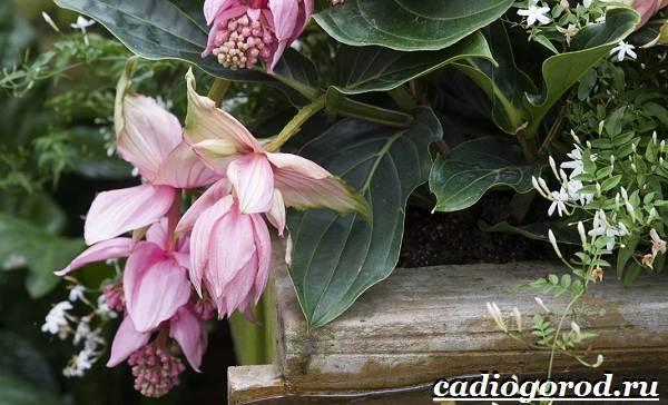 Мединилла-цветок-Описание-особенности-виды-и-уход-за-Мединиллой-18