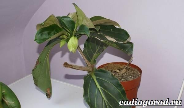 Мединилла-цветок-Описание-особенности-виды-и-уход-за-Мединиллой-19