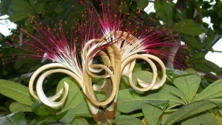 Пахира цветок. Описание, особенности, виды и уход за пахирой