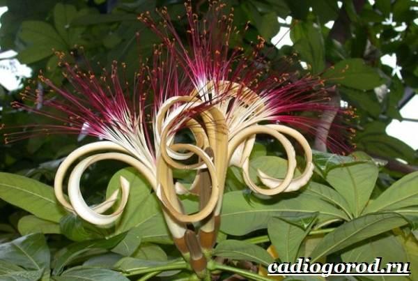 Пахира-цветок-Описание-особенности-виды-и-уход-за-пахирой-10