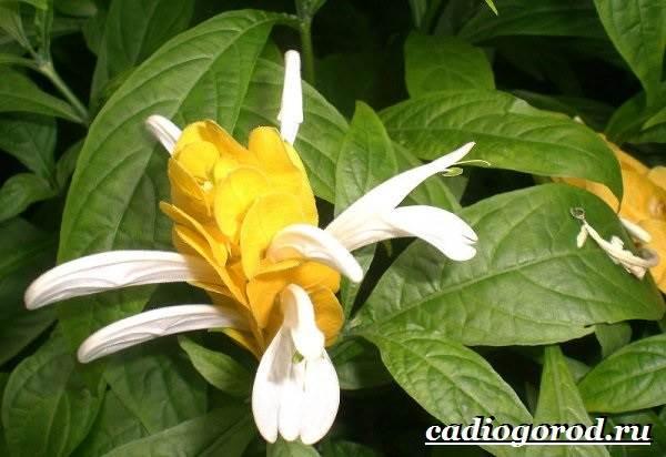 Пахистахис-растение-Описание-особенности-виды-и-уход-за-пахистахисом-10
