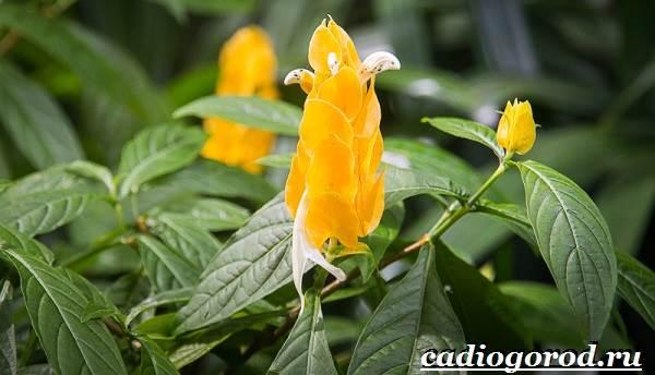 Пахистахис-растение-Описание-особенности-виды-и-уход-за-пахистахисом-18