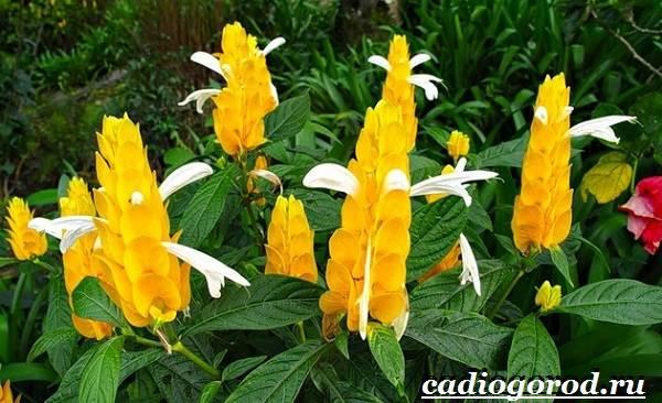 Пахистахис-растение-Описание-особенности-виды-и-уход-за-пахистахисом-2