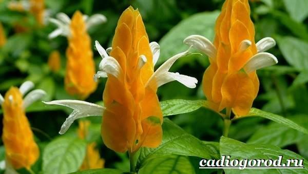 Пахистахис-растение-Описание-особенности-виды-и-уход-за-пахистахисом-3