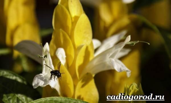 Пахистахис-растение-Описание-особенности-виды-и-уход-за-пахистахисом-7