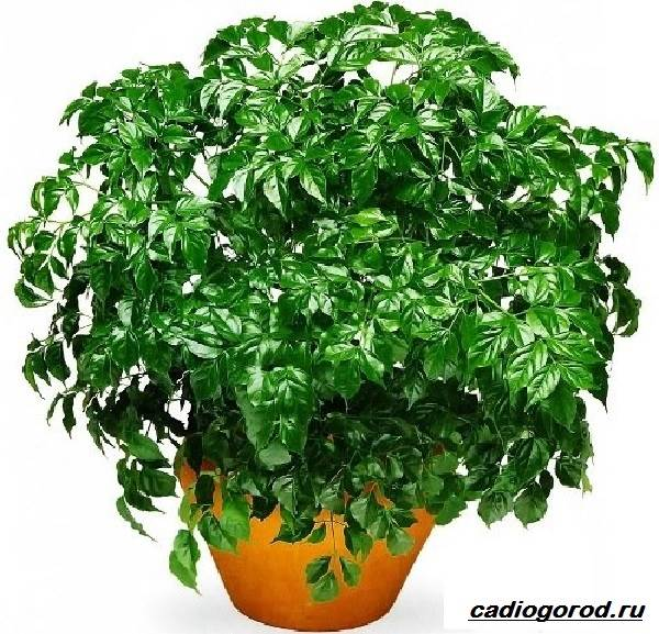 Радермахера-цветок-Описание-особенности-виды-и-уход-за-радермахерой-1