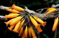 Радермахера цветок. Описание, особенности, виды и уход за радермахерой