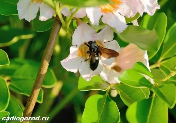 Радермахера-цветок-Описание-особенности-виды-и-уход-за-радермахерой-3