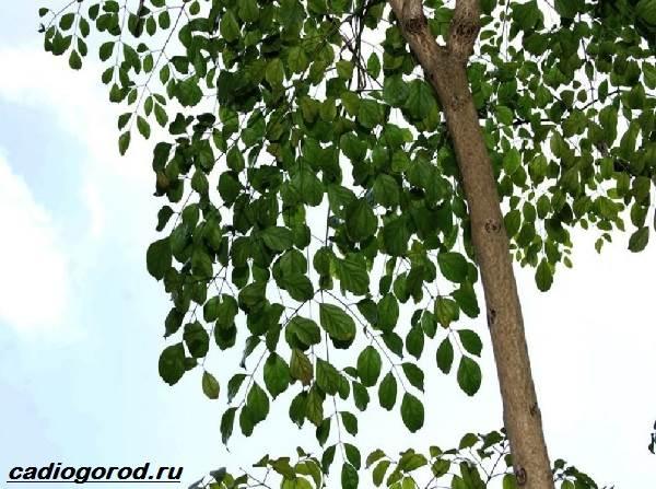 Радермахера-цветок-Описание-особенности-виды-и-уход-за-радермахерой-5