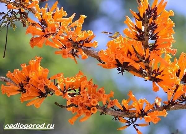 Радермахера-цветок-Описание-особенности-виды-и-уход-за-радермахерой-6