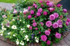 Роза патио цветок. Описание, особенности и уход за розой патио