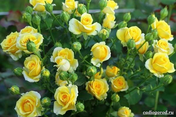 Роза-патио-цветок-Описание-особенности-и-уход-за-розой-патио-4
