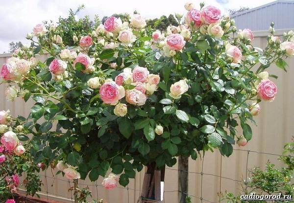 Роза-патио-цветок-Описание-особенности-и-уход-за-розой-патио-5