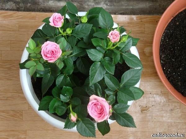 Роза-патио-цветок-Описание-особенности-и-уход-за-розой-патио-7