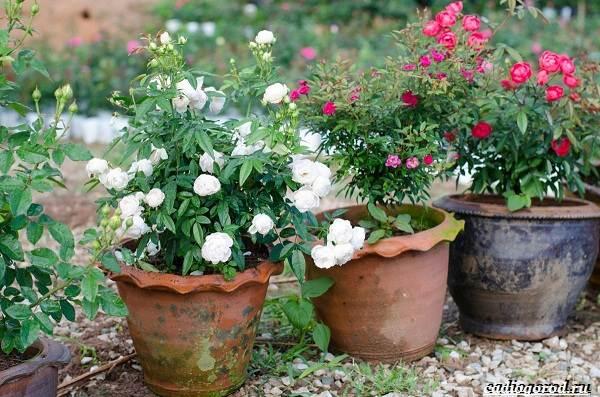 Роза-патио-цветок-Описание-особенности-и-уход-за-розой-патио-8