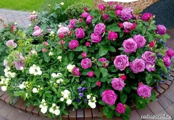 Роза-патио-цветок-Описание-особенности-и-уход-за-розой-патио