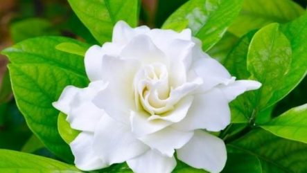 Гардения цветок. Описание, особенности, уход и цена гардении