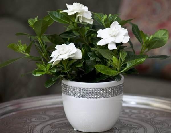 Гардения-цветок-Описание-особенности-уход-и-цена-гардении-10
