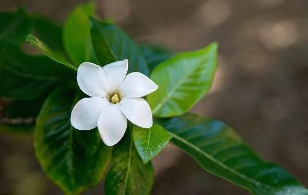 Гардения-цветок-Описание-особенности-уход-и-цена-гардении-18