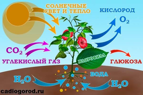 Что-такое-фотосинтез-Описание-особенности-фазы-и-значение-фотосинтеза-1