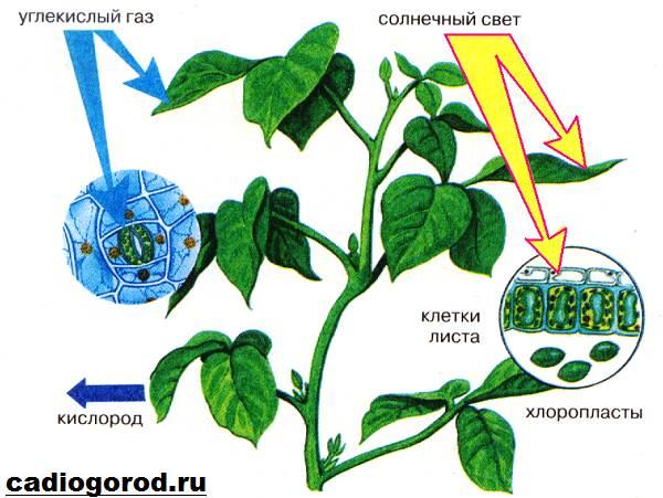 Что-такое-фотосинтез-Описание-особенности-фазы-и-значение-фотосинтеза-8