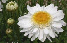 Нивяник цветок. Описание, особенности, виды и уход за нивяником