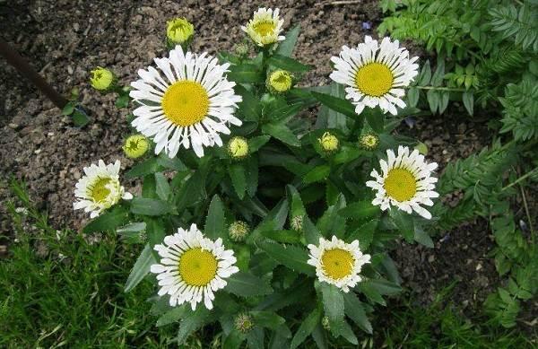 Нивяник-цветок-Описание-особенности-виды-и-уход-за-нивяником-16