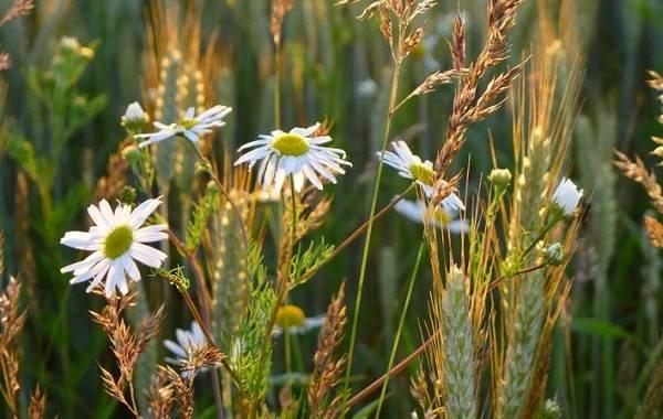 Нивяник-цветок-Описание-особенности-виды-и-уход-за-нивяником-20