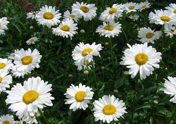 Нивяник-цветок-Описание-особенности-виды-и-уход-за-нивяником-24
