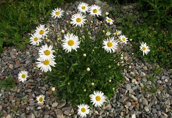 Нивяник-цветок-Описание-особенности-виды-и-уход-за-нивяником-29