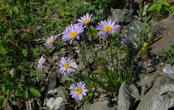 Нивяник-цветок-Описание-особенности-виды-и-уход-за-нивяником-30