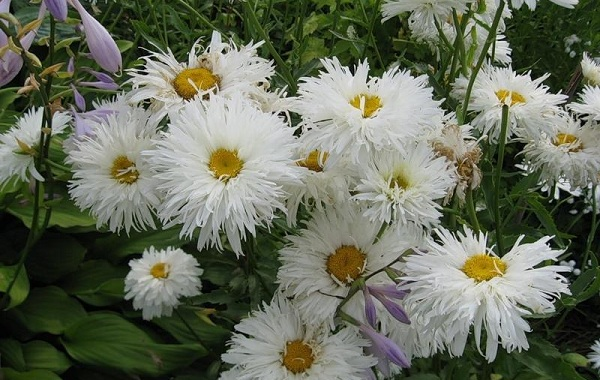 Нивяник-цветок-Описание-особенности-виды-и-уход-за-нивяником-31