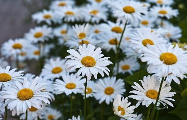 Нивяник-цветок-Описание-особенности-виды-и-уход-за-нивяником-6