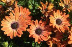 Диморфотека цветок. Описание, особенности, виды и выращивание диморфотеки