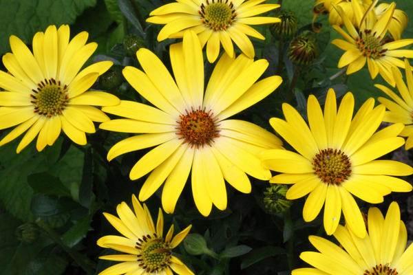Диморфотека-цветок-Описание-особенности-виды-и-выращивание-диморфотеки-3
