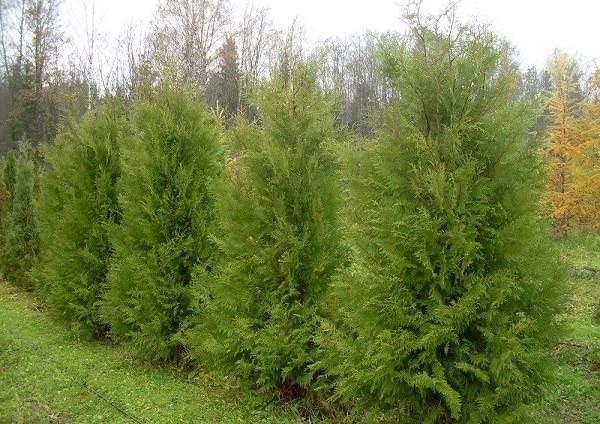 Туя-брабант-дерево-Описание-особенности-виды-посадка-и-уход-за-туей-брабант-1