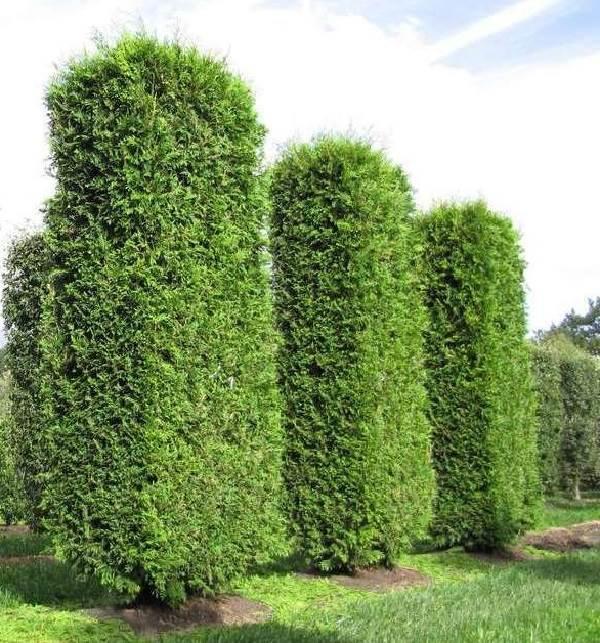 Туя-брабант-дерево-Описание-особенности-виды-посадка-и-уход-за-туей-брабант-3