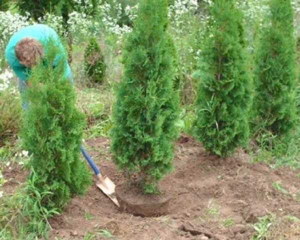 Туя-брабант-дерево-Описание-особенности-виды-посадка-и-уход-за-туей-брабант-8
