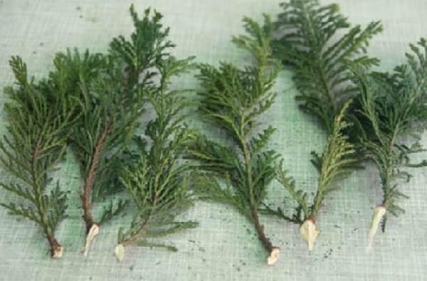 Туя-смарагд-дерево-Описание-особенности-посадка-и-уход-за-туей-смарагд-11