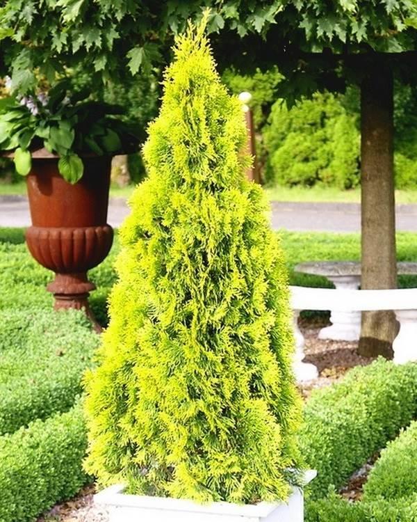 Туя-смарагд-дерево-Описание-особенности-посадка-и-уход-за-туей-смарагд-3