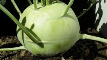 Капуста кольраби. Описание, особенности, виды и выращивание кольраби