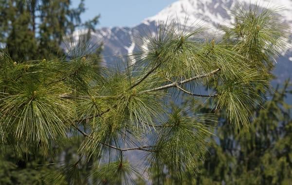 Сосна-гималайская-дерево-Описание-особенности-виды-посадка-и-уход-1