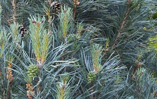 Сосна-гималайская-дерево-Описание-особенности-виды-посадка-и-уход-14